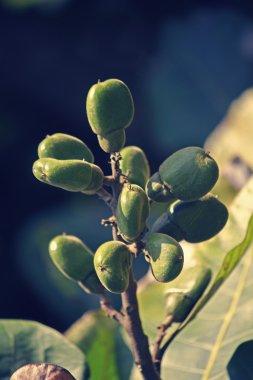 Fruits of Semecarpus anacardium