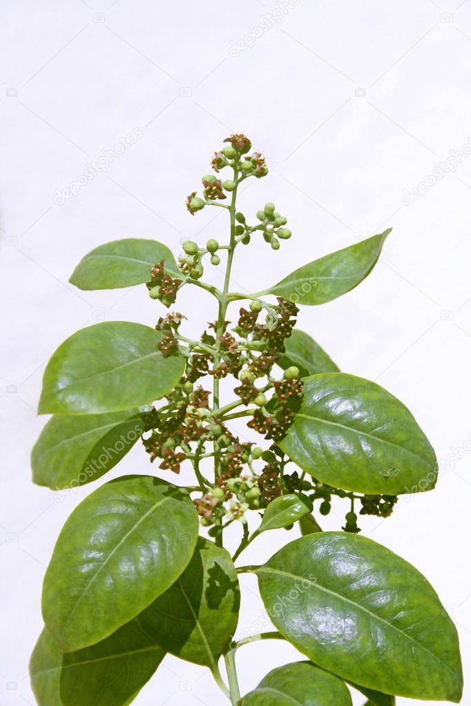 Flowers of Pterocarpus santalinus, Red Sandalwood