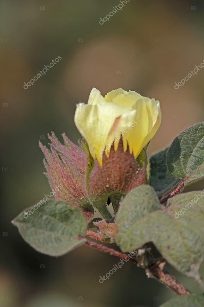Cotton Field, Cotton flower