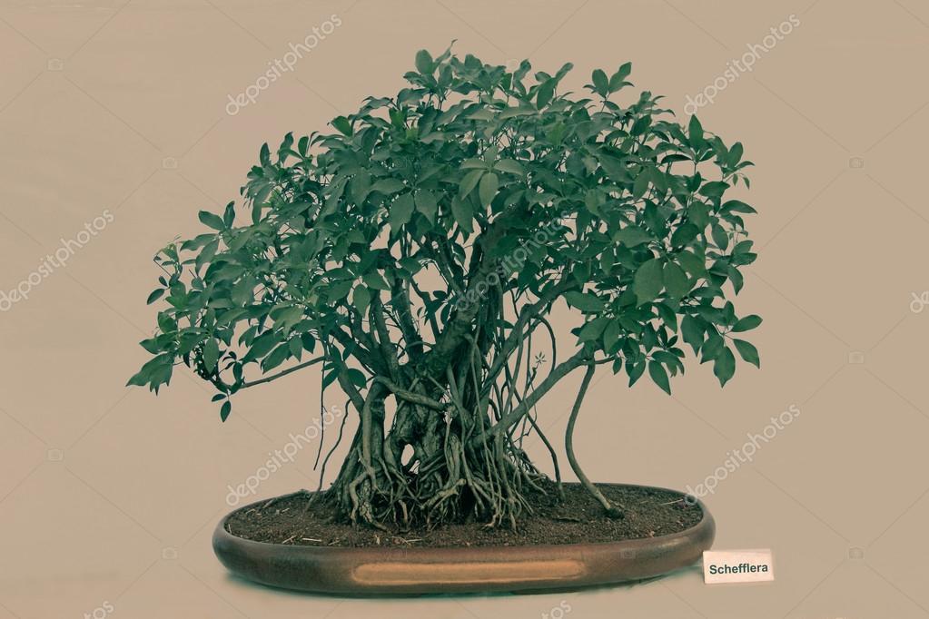 Glass Bonsai Tree Bonsai Tree Of Schefflera Tree India Stock Photo C Yogesh More 80684158