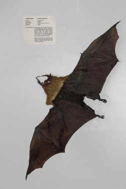 Pteropus Giganteus, Indian Flying Fox Displayed In A Museum, Miao, Arunachal Pradesh, India