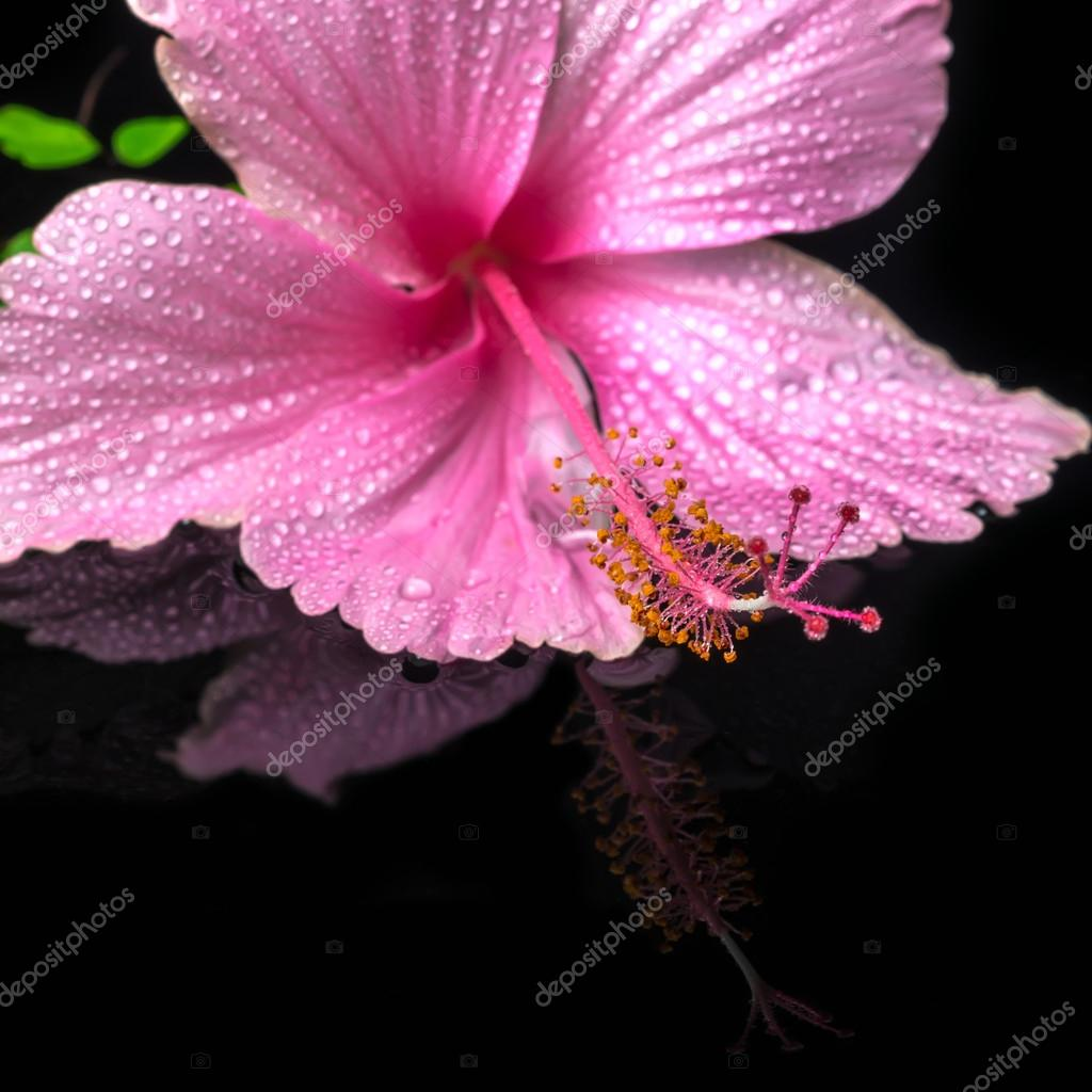 Spa Concept Of Pink Hibiscus Flower On Green Branch Fern With Dr