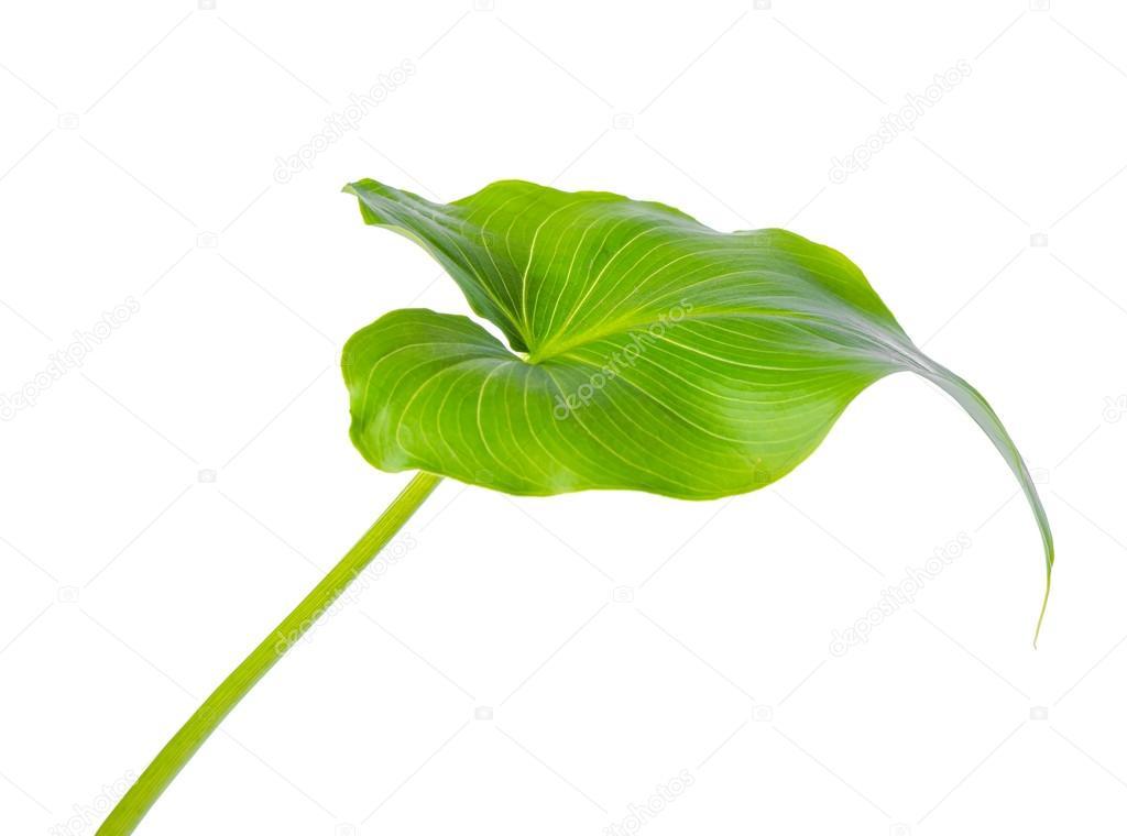 Feuille De Fleur De Lys Calla Est Isole Sur Fond Blanc