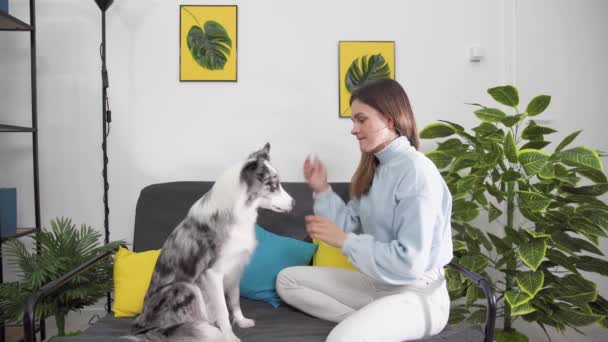 Exercises with the dog to sit on his butt in a pleading position and then put his paws on the trainers hands. Border Collie dog in shades of white and black, and long and fine hair. An excellent