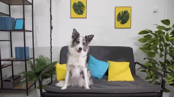 Pes sedí a potřásá hlavou zprava doleva a zezadu, aby se podíval, co se děje v dálce. Hraniční kolie pes v odstínech bílé a černé, a dlouhé a jemné vlasy. Vynikající pastevecký pes.