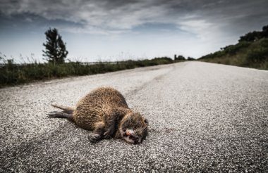 Roadkill carcass of an otter lying on road
