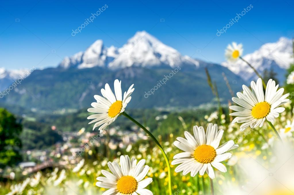 Beautiful blooming mountain flowers in snowcapped Alps in spring