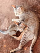 Cats -mother and kitten- on the dirt floor. Afrera-Ethiopia. 0181