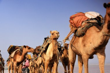 Camel caravan driven by afar herders. Danakil-Ethiopia. 0271
