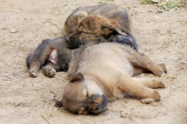 Sleeping puppy dogs. Dhulikhel-Nepal. 1040