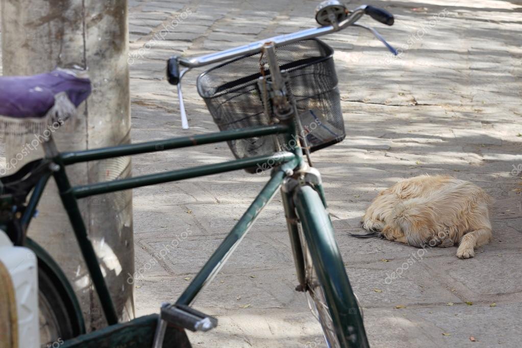 Long haired sleeping dog. Serga gonpa-Tibet. 1304