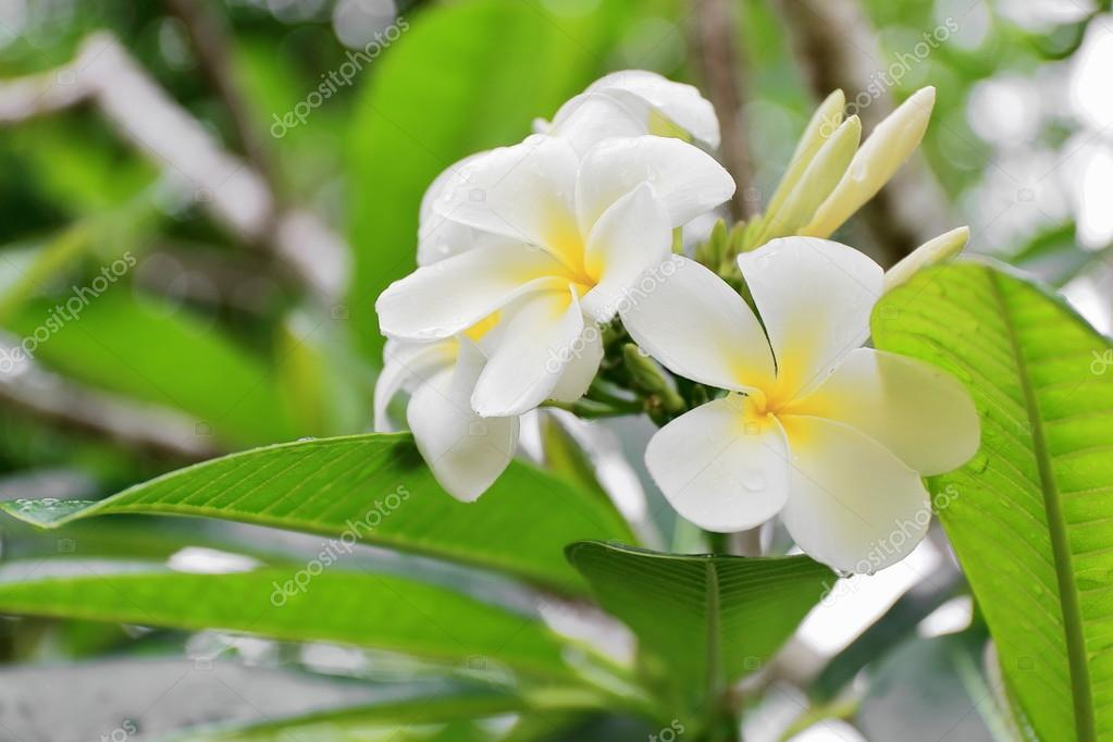 White tiare flowers. Lonnoc Beach-Vanuatu. 0003