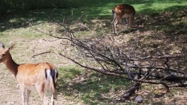 Portrét mladého padlého jelena. Divoké zvíře. Jelení rohy. Mladé savčí zvíře. Mladá divoká doe. Zvířecí kožich. Zvířecí školka. zoologická zahrada. Podzimní příroda. Krásný jelen