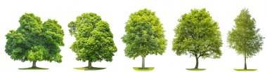 Set of green trees oak, maple, birch, chestnut. Nature objects isolated on white background stock vector