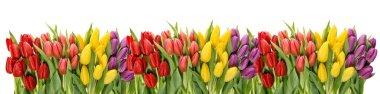 Fresh spring tulips