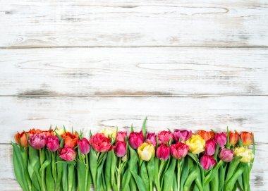 Fresh multicolor tulips. Spring flowers