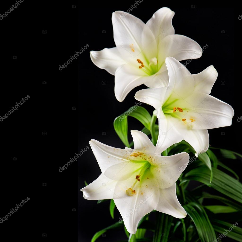 White lily flowers bouquet on black background condolence card white lily flowers bouquet on black background condolence card stock photo izmirmasajfo