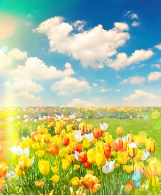 Tulip flowers field over cloudy blue sky