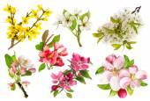 Photo Blossoms of apple tree, cherry twig, forsythia. Set of spring fl