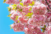 Photo Blossoming of pink cherry over blue sky. Sakura tree. Spring flo