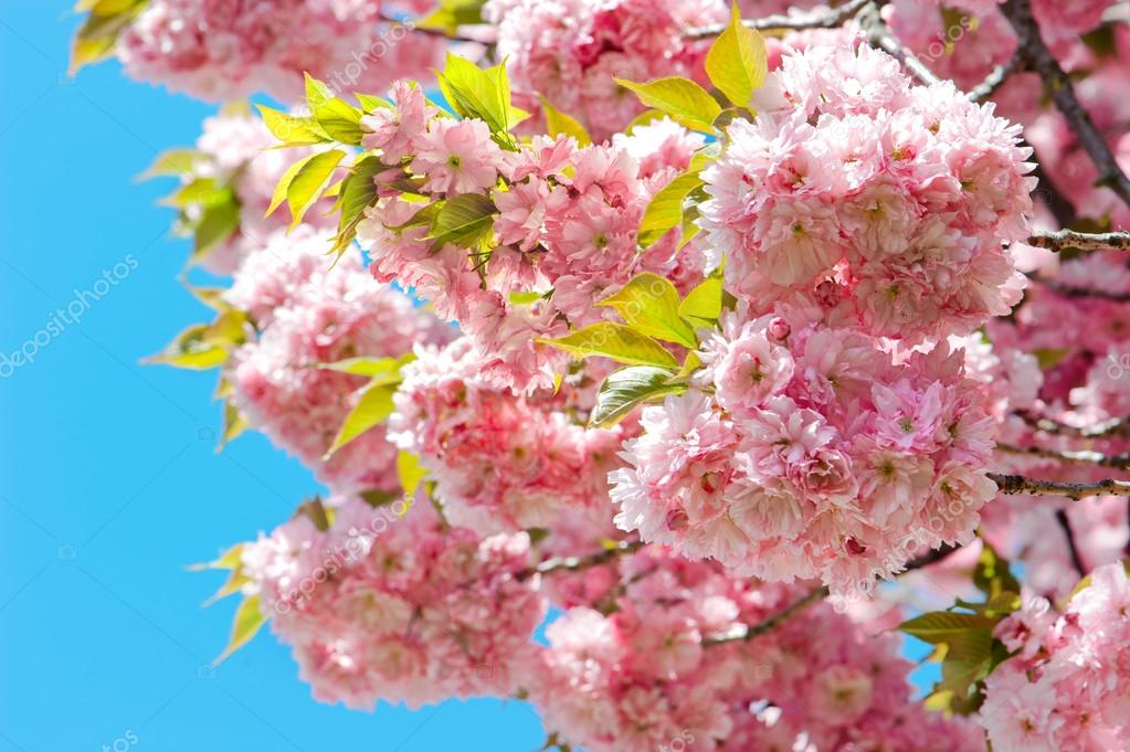 Blossoming of pink cherry over blue sky. Sakura tree. Spring flo
