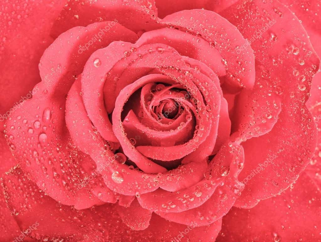 Pink Rose Flower Blossom With Water Drops Holidays Greetings Ca