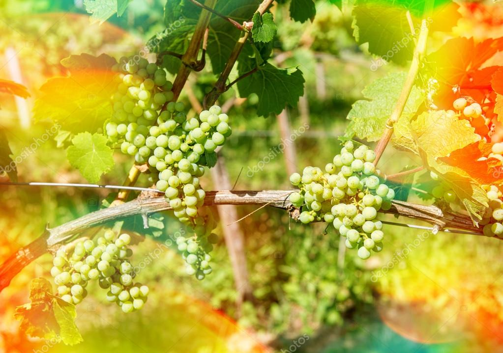 Grapes with green leaves on the vine outdoors with sunbeams and