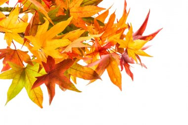 Red green yellow maple leaves. Autumn