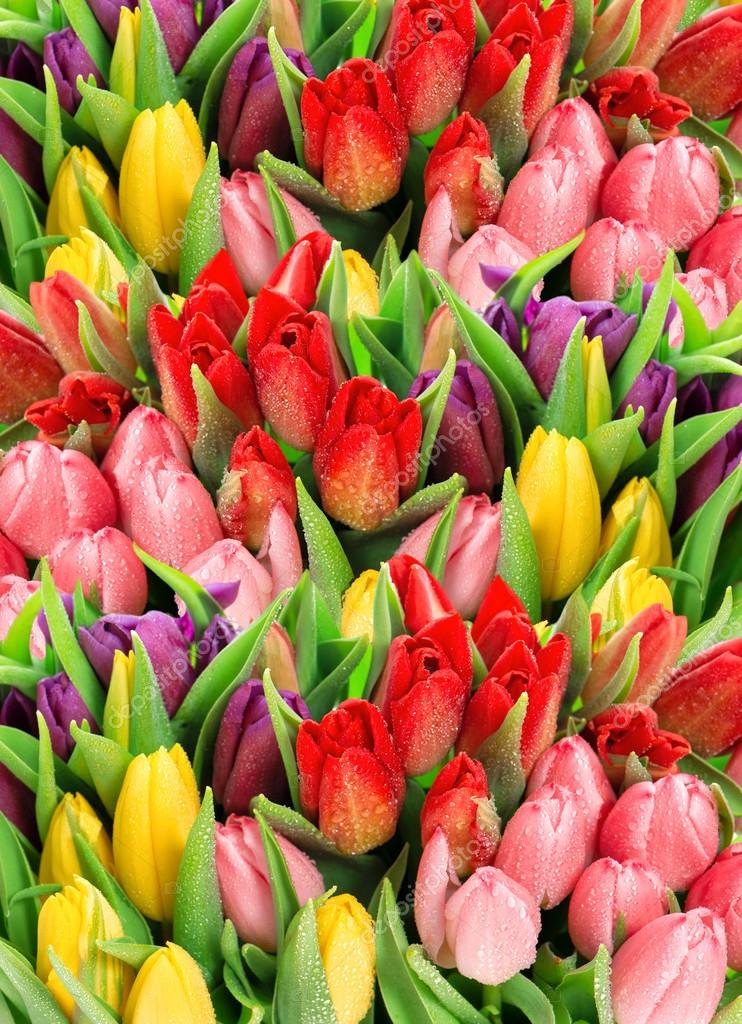 Spring tulips. Bouquet of fresh flowers with water drops