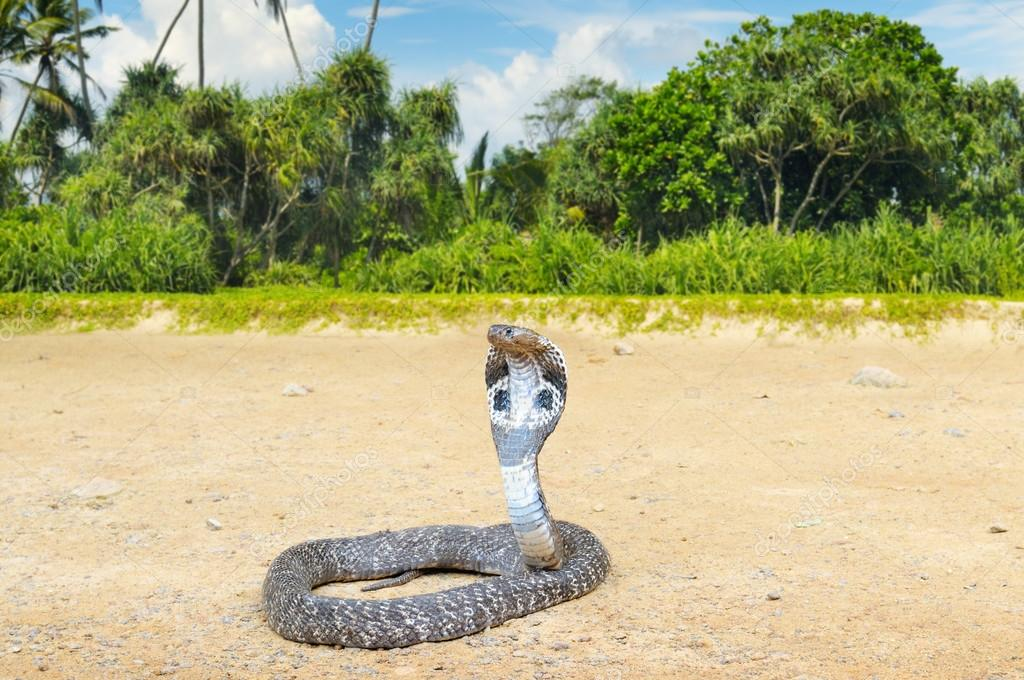 king cobra in the wild nature