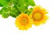 Květ slunečnice izolovaných na bílém pozadí