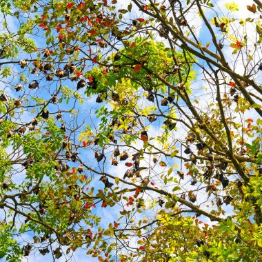 Colony Flying foxes in the wild on the island of Sri Lanka