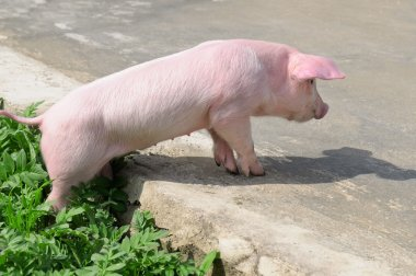 funny pig on the road