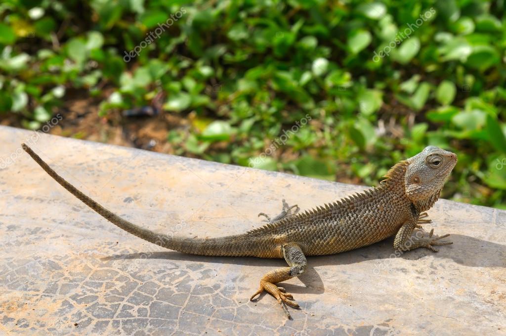 lizard basking in the sun (the wildlife of Sri Lanka)