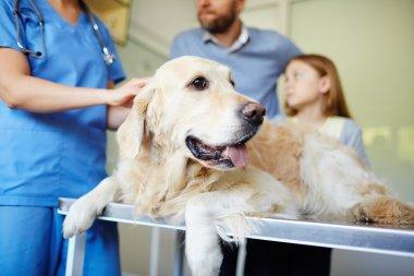 Fluffy pet in vet clinic