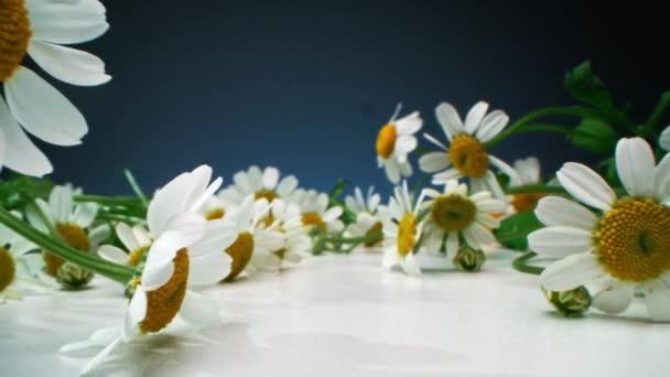 Dollying-out makro záběry mnoha krásné pole heřmánku květiny ležící na bílém povrchu na gradient modré pozadí