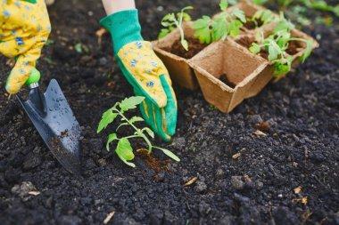 Gardener replanting tomato seedlings