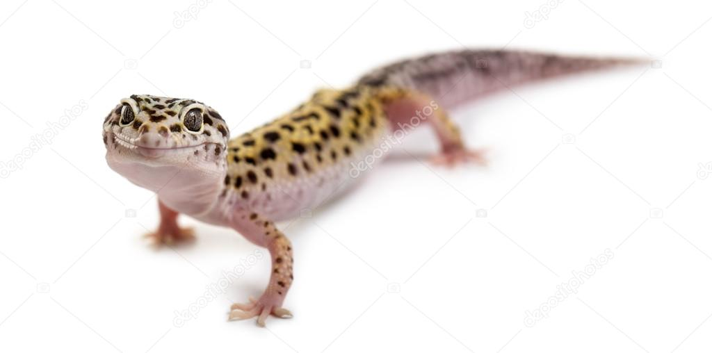 Leopard gecko in front of a white background — Stock Photo