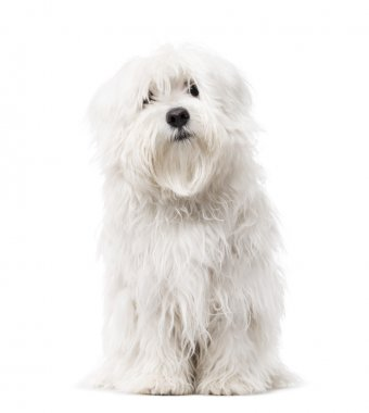 Maltese puppy isolated on white