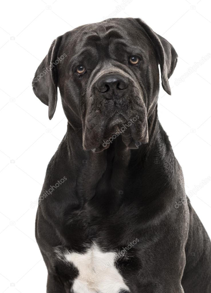 cane corso isolated on white stock photo lifeonwhite 112434788