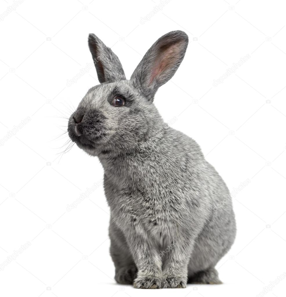 argente kanin