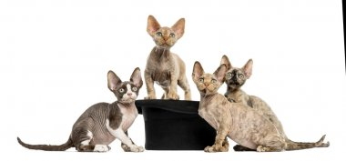 Group of Devon rex with a hat isolated on white
