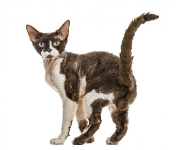 Rear view of a Devon rex cat isolated on white