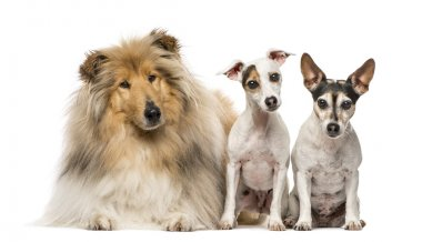 Group of three dogs, isolated on white