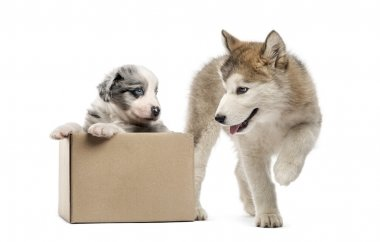 Crossbreed and malamute puppy with a box isolated on white