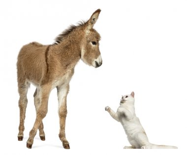 Provence donkey foal playing with British Shorthair cat
