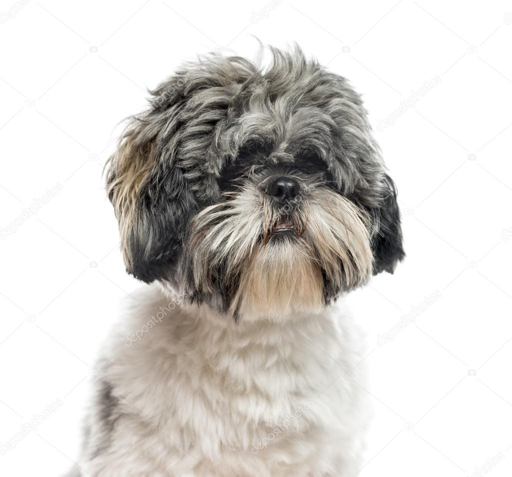 Close Up Of Shih Tzu 1 Year Old Isolated On White Stock Photo