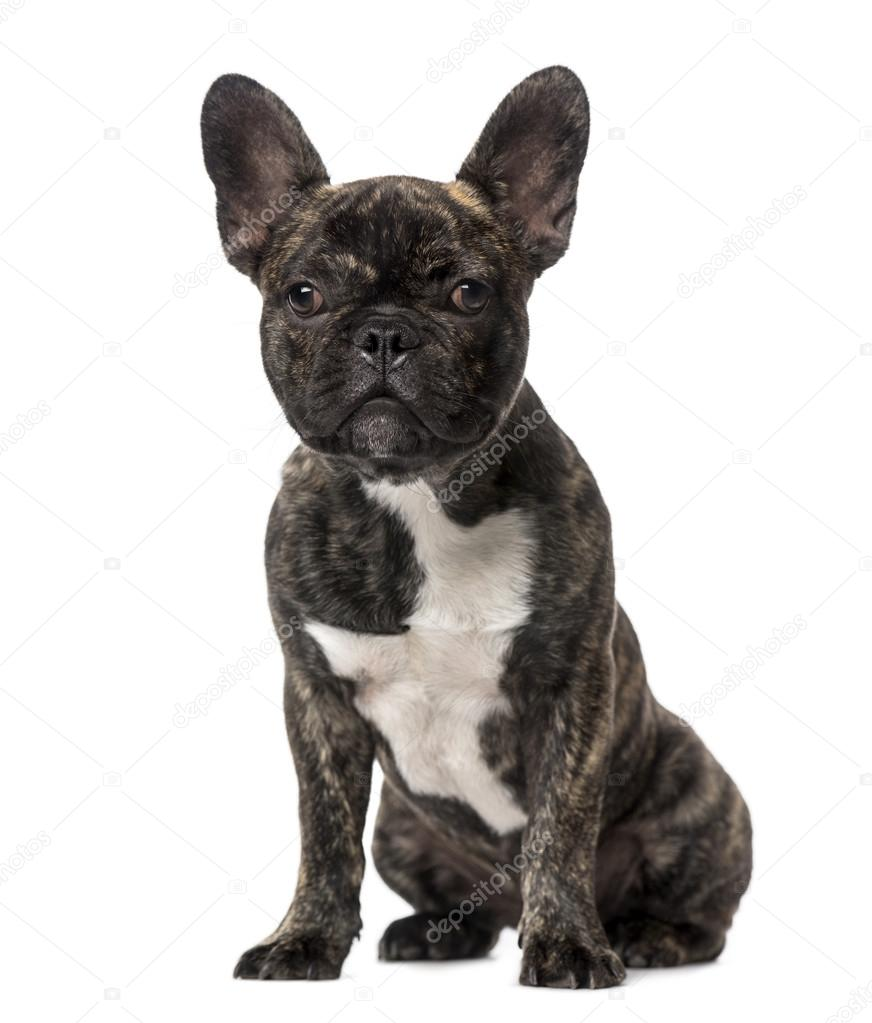 French Bulldog Puppy 5 Months Old Stockfoto Lifeonwhite 53305103