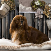 Photo Cavalier King Charles in front of a rustic background