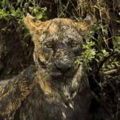 Photo Close-up of a dirty lioness, Serengeti, Tanzania, Africa